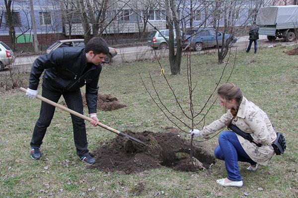 беларус посадка деревьев на усмотрение администрации города это